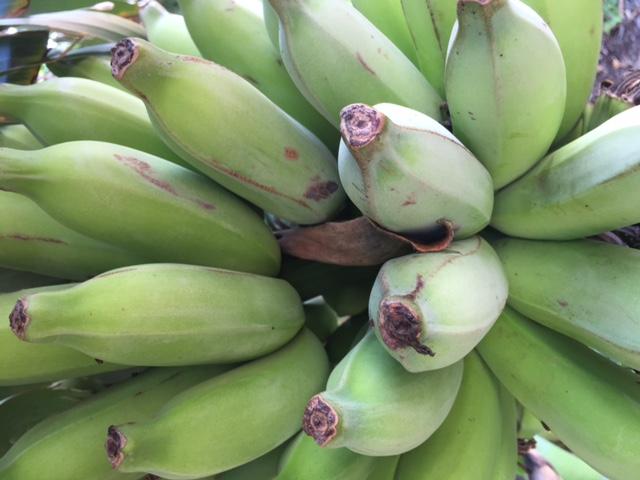 Bananas from UHWO Student Organic Garden