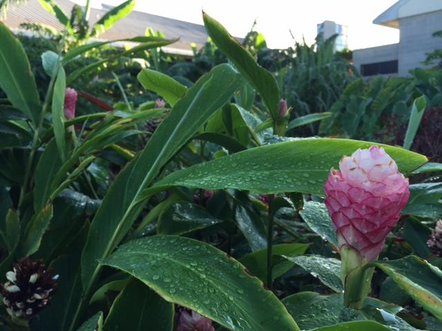 UHWO Student Organic Garden ginger