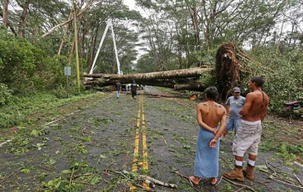 Albizia tree is blocking the road after falling.