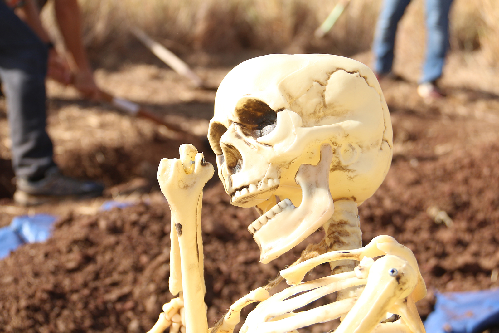 An artificial human skeleton is prepped to be buried in association with a UHWO Forensics course.