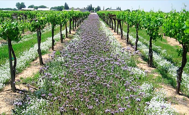 A vineyard with summer flowering cover crops