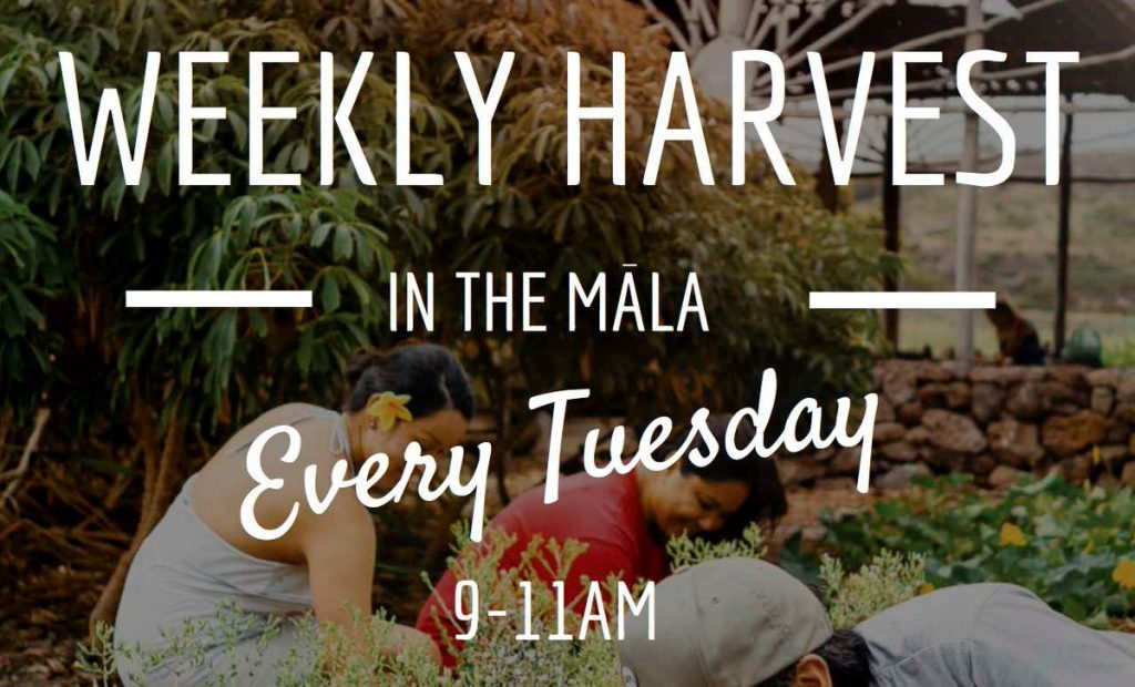 Flyer for weekly harvests in the garden every Tuesday at 9 to 11 a.m.