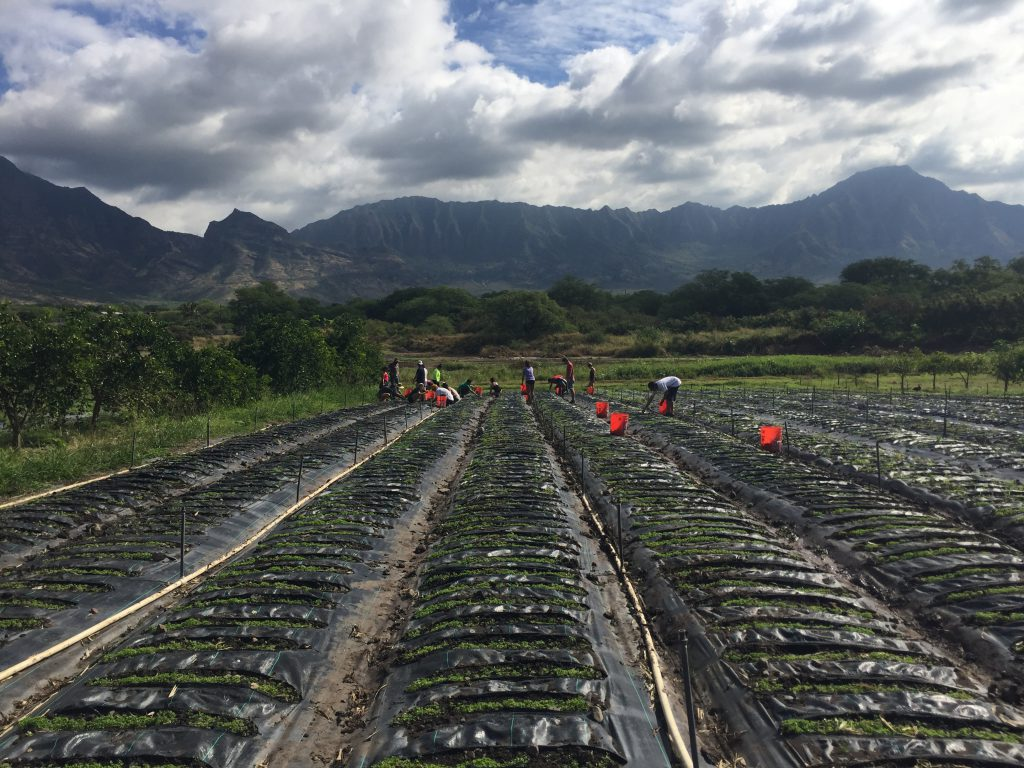 Photo of rows at a farm. People are working in the background
