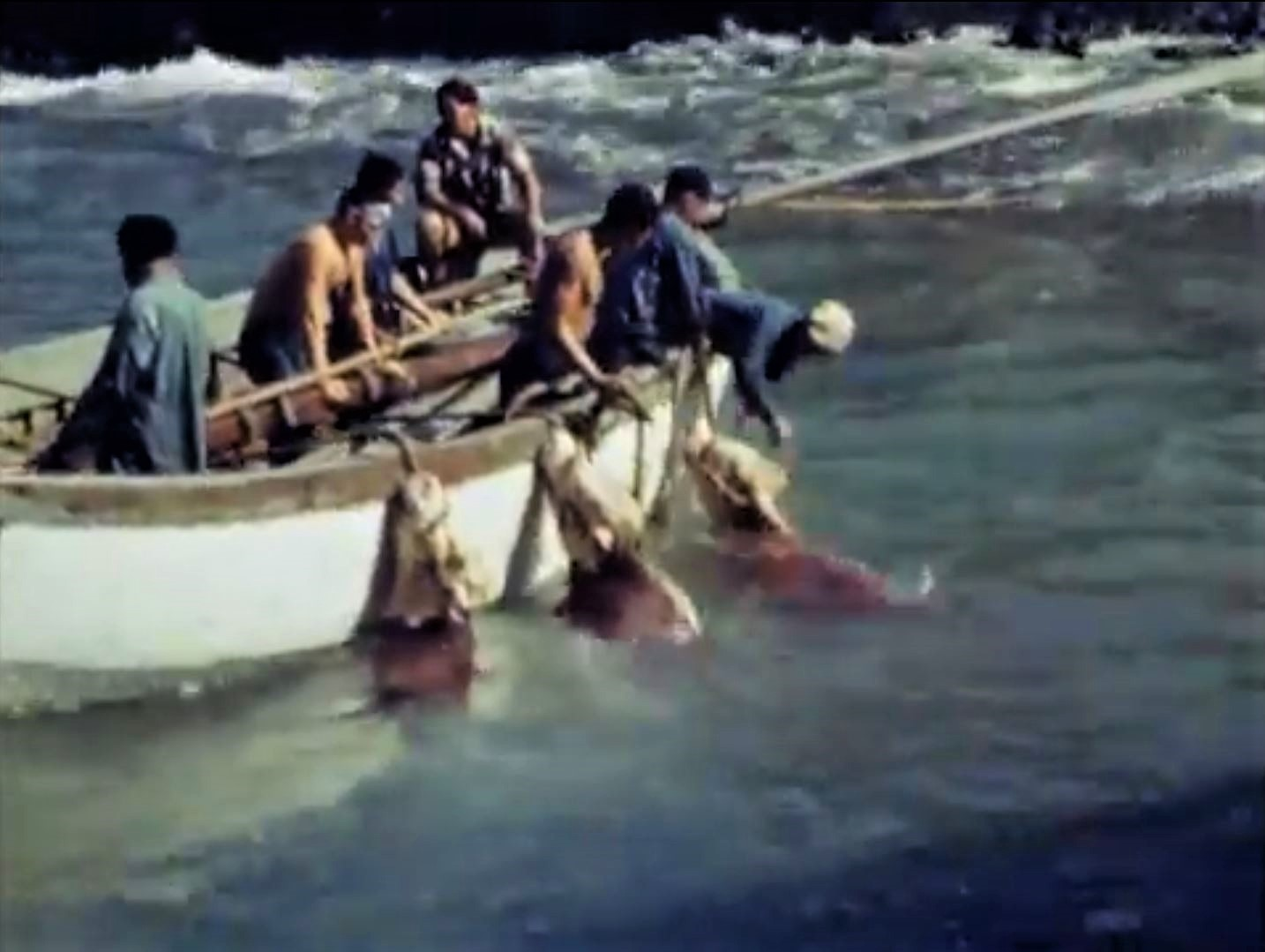 Frame grab of men in a boat with three bovine tied by their heads to the side. They are just offshore.
