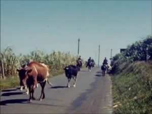 frame grab of cattle walking down an asphalt road. In the background are cowboys on horses and what appears to be a sugarcane field on the site