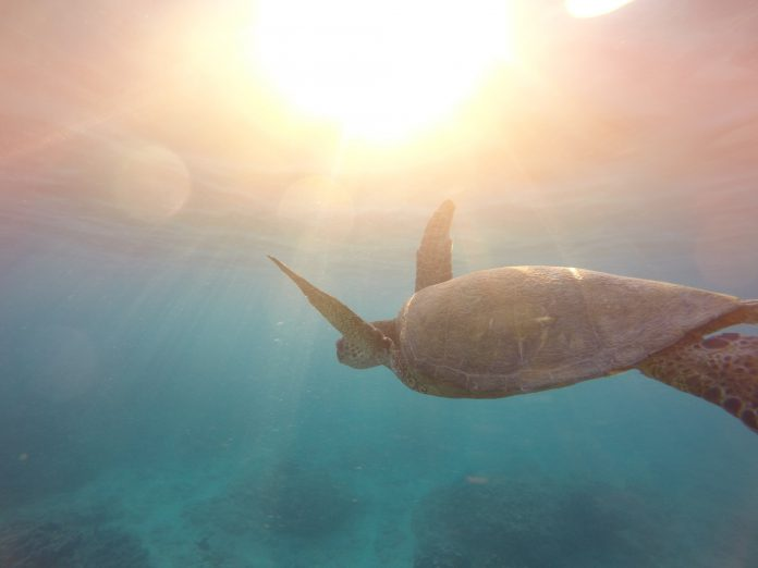 Turtle swimming in the ocean.