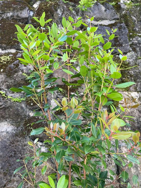 ʻĀhihi, an endemic species of the ʻohiʻa lehua