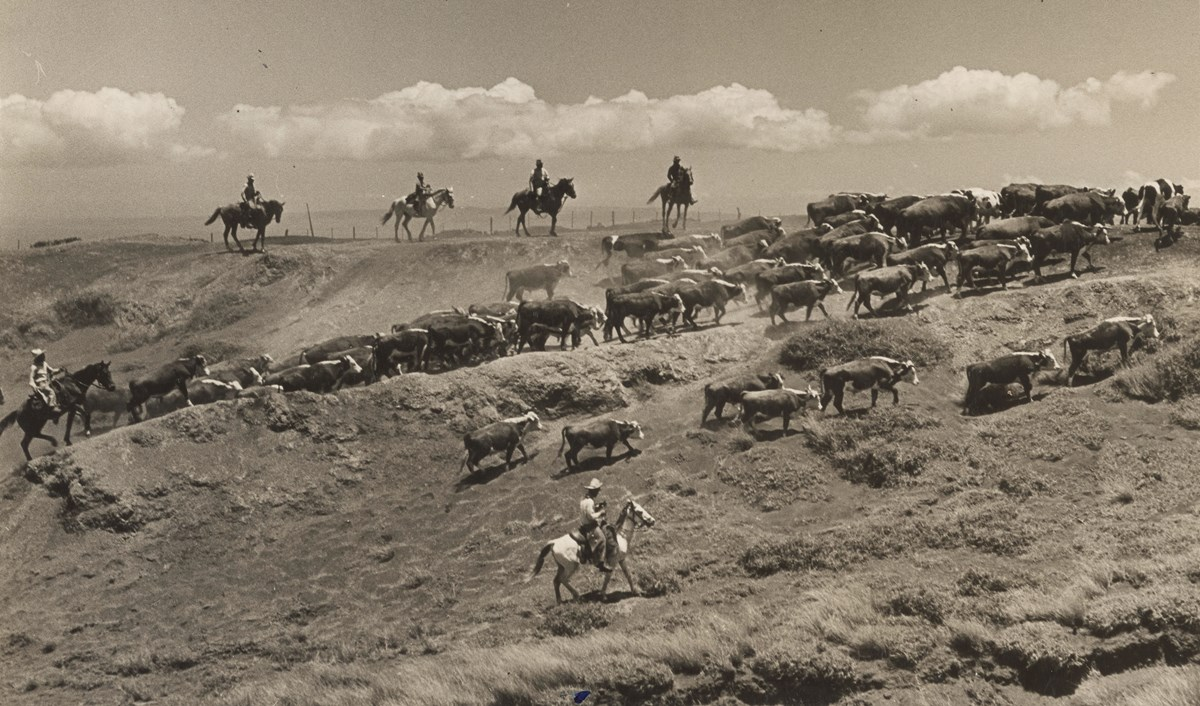 A picture of paniolo (Hawaiian cowboys) herding cattle on the Big Island.