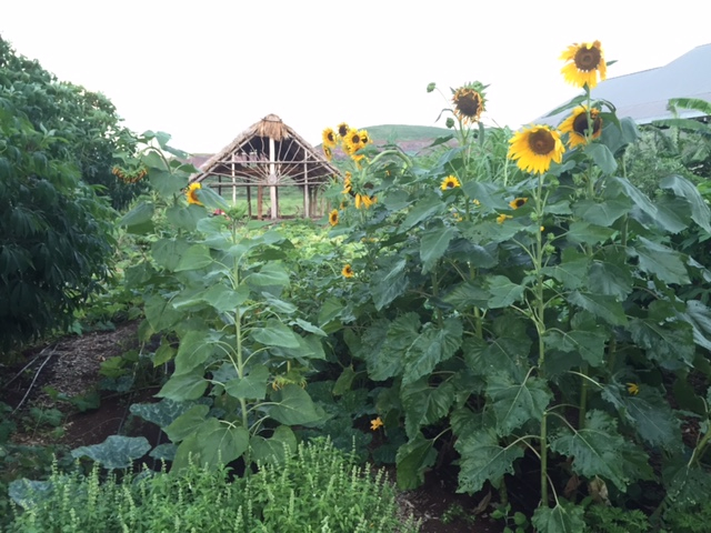 Mammoth Sunflowers grow in the garden with the hale peeking out from the back.