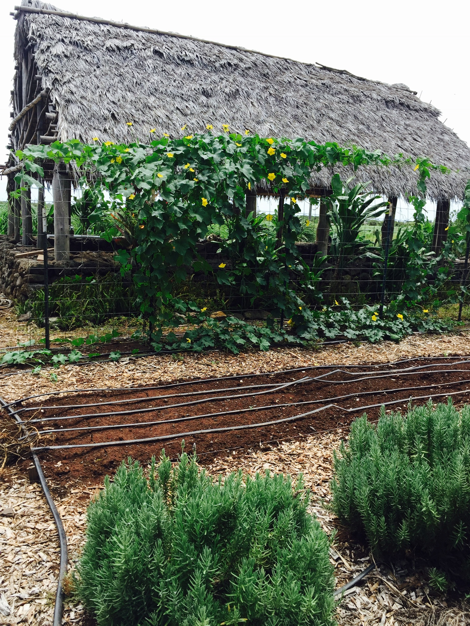 Seeing the roof of the hale with a trellis full of squash vines