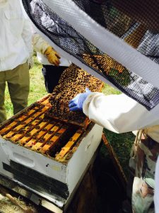 A group of students in protective bee suits open a bee box to inspect the health of the hive.