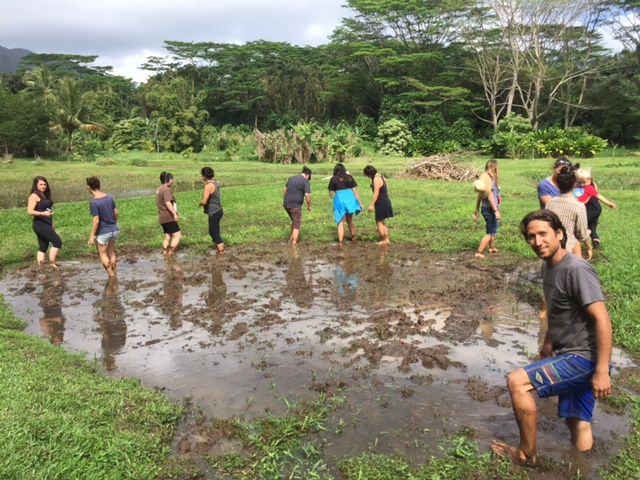 Community volunteers submerge themselves in the loʻi stomping in the lepo shin deep.
