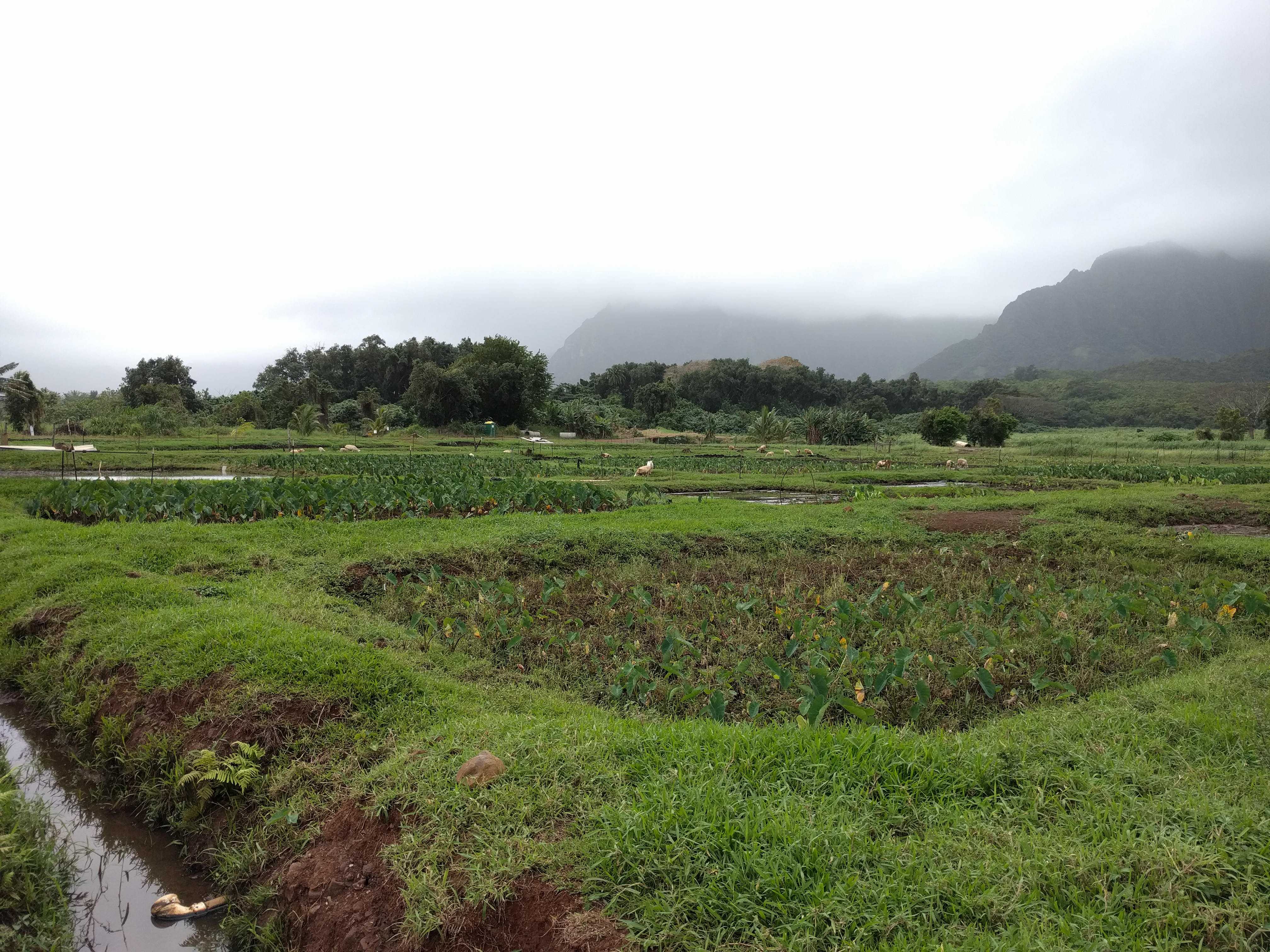 Over looking several loʻi patches that are dried out. The background have mountains covered in clouds.