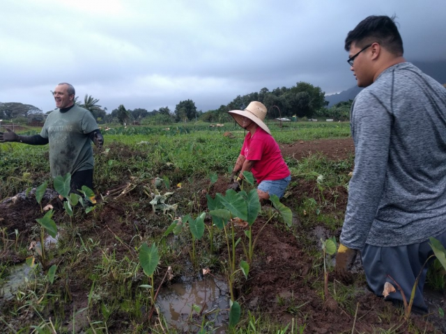 Community members take moment to smile as they are knee deep in the loʻi pulling out weeds around the kalo plants.