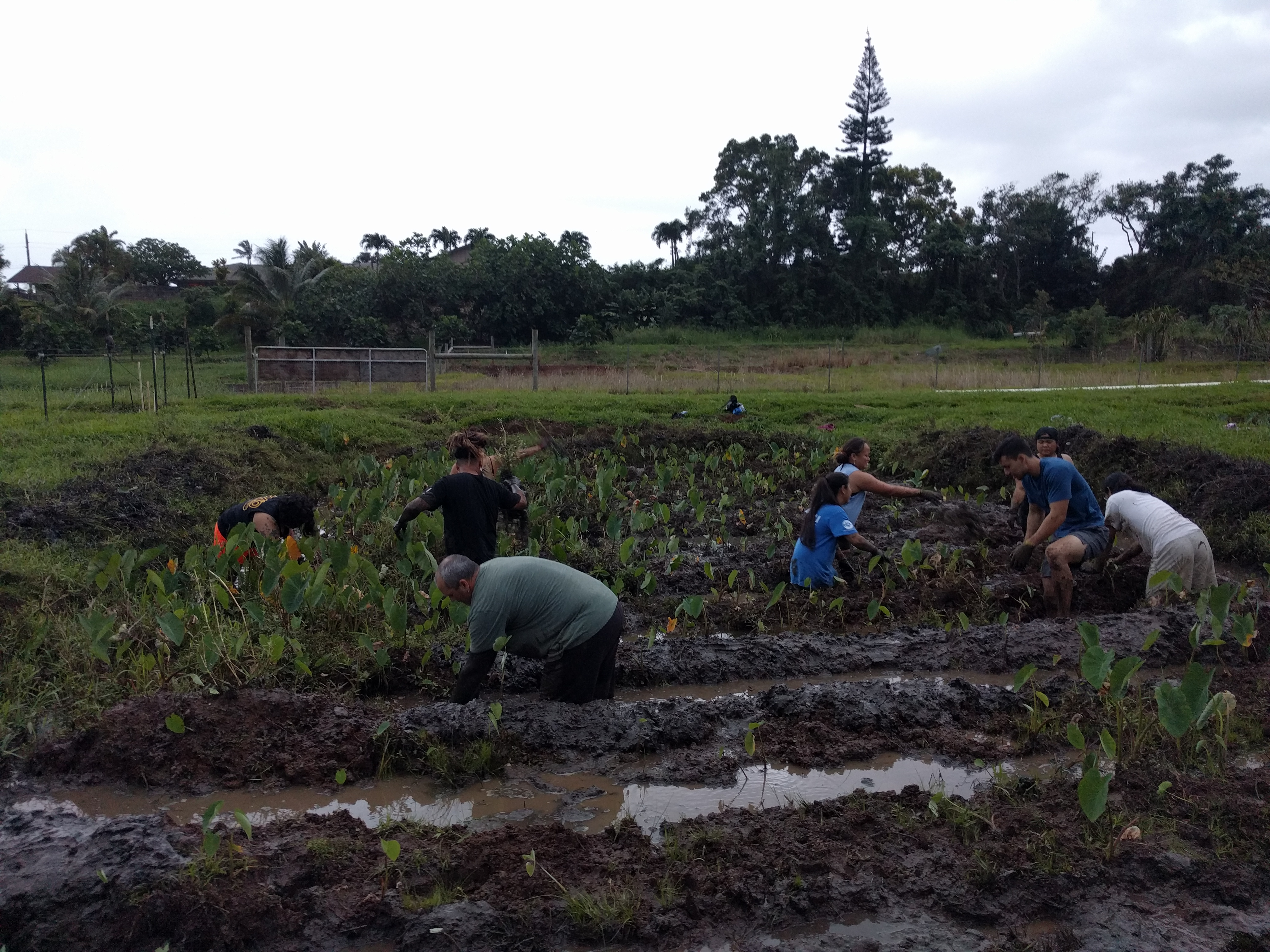 Students make progress pullin gout weeds in the loʻi.