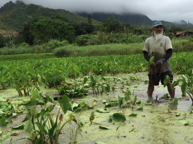 Cultural practitioner standing in the loʻi harvesting kalo