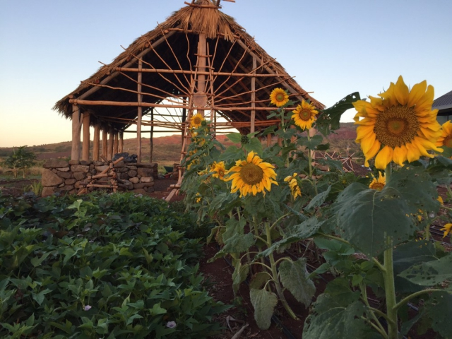 Large yellow sunflowers standing tall and a bed of uala vines in front of hale.