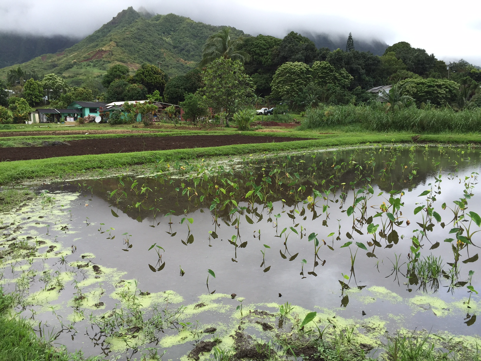 View of loʻi made up of young kalo and green algae growing on the outter ridge with mountain in backdrop with clouds sitting on top.