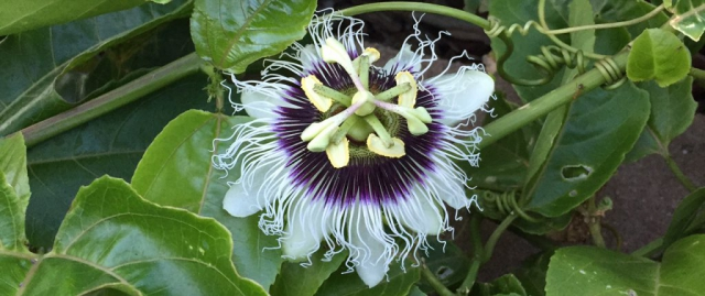 A close up of lilikoi (passion fruit) flower with green vines and leaves in the background