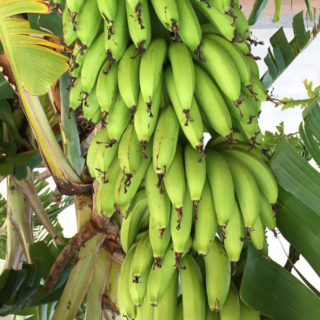 A rack of green bananas on the banana plant
