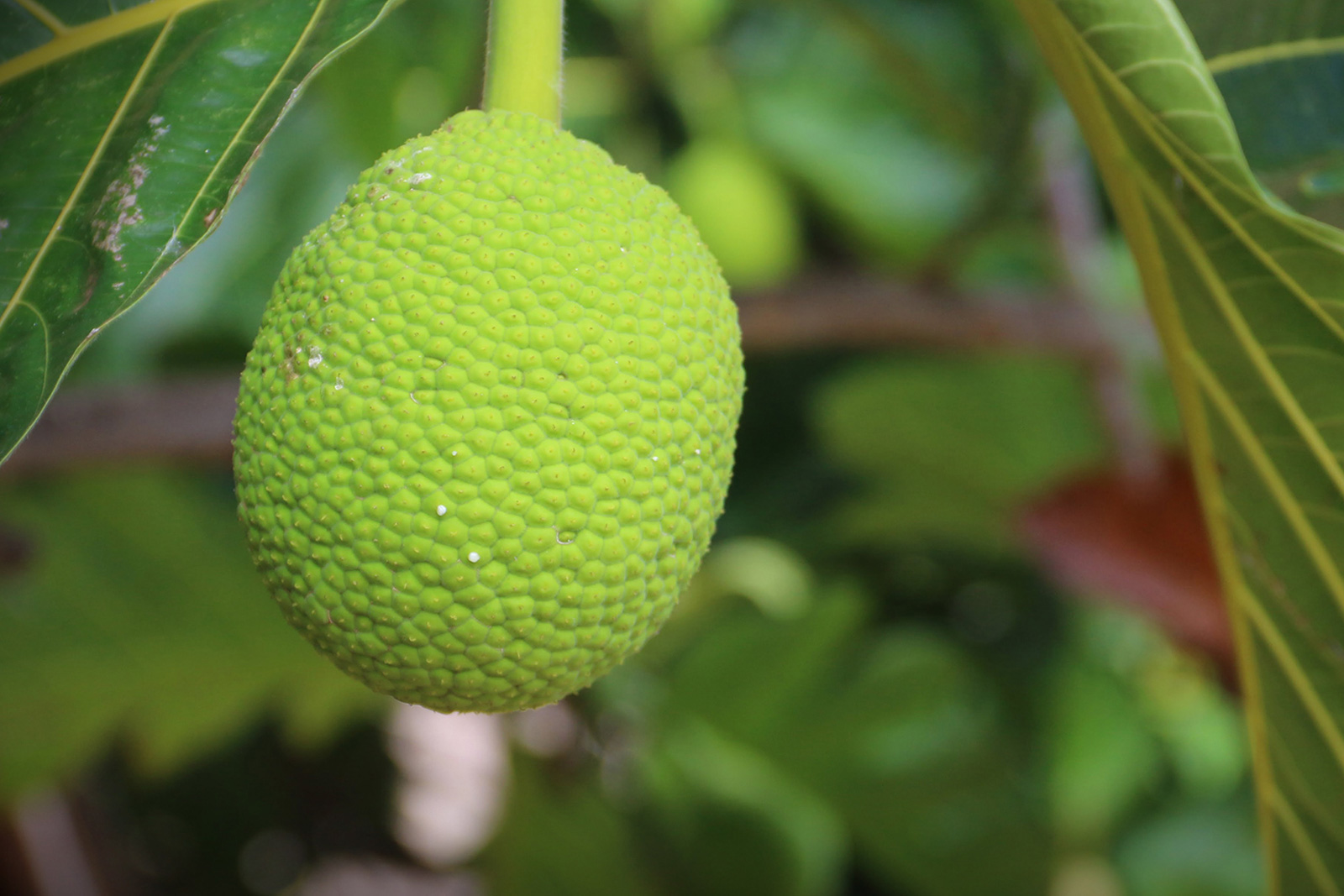Image of a single breadfruit on the tree - commonly used in holistic applications.