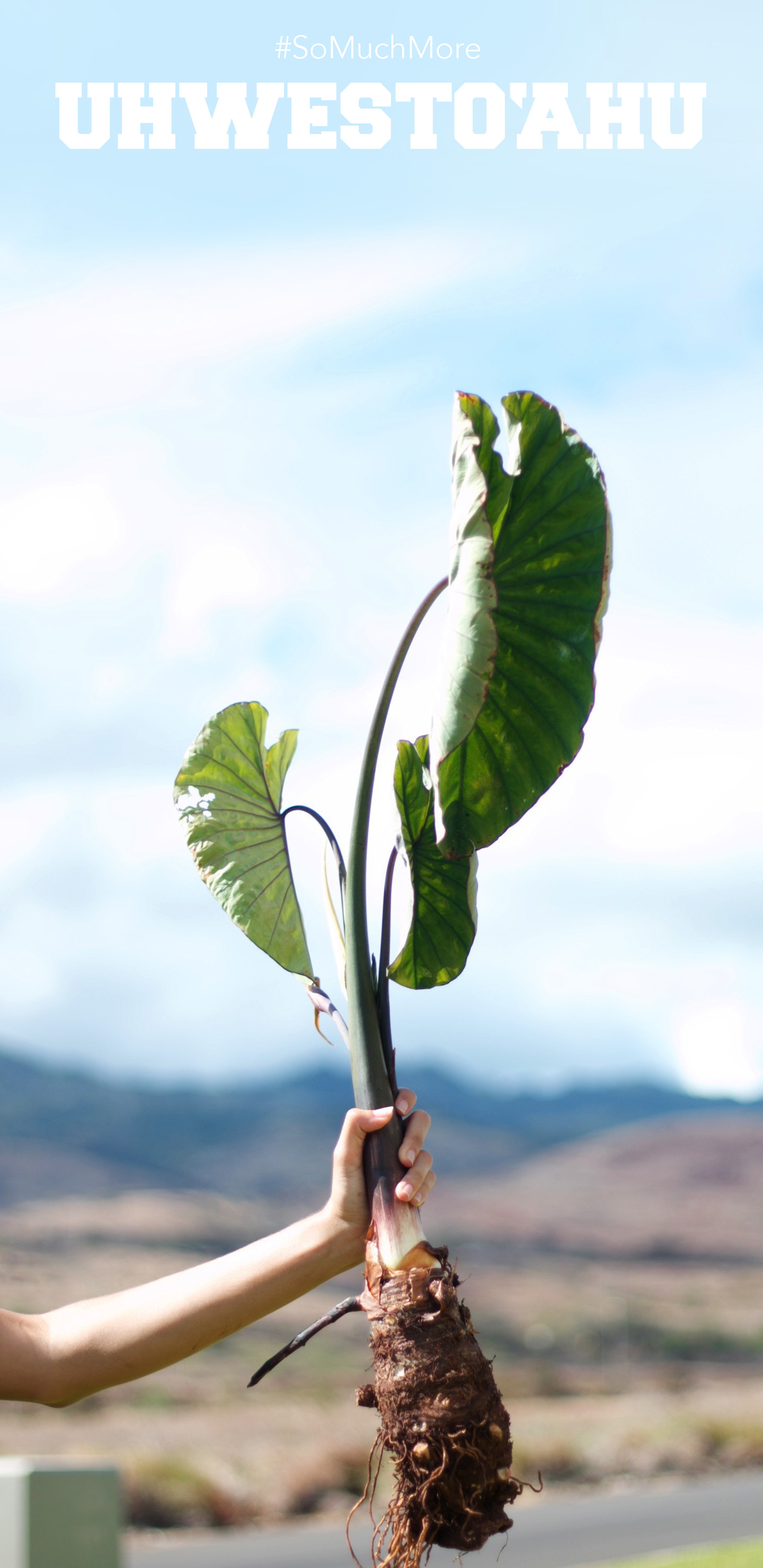 Someone Out Of Frame Holding A Taro Plant Toward The Sky.