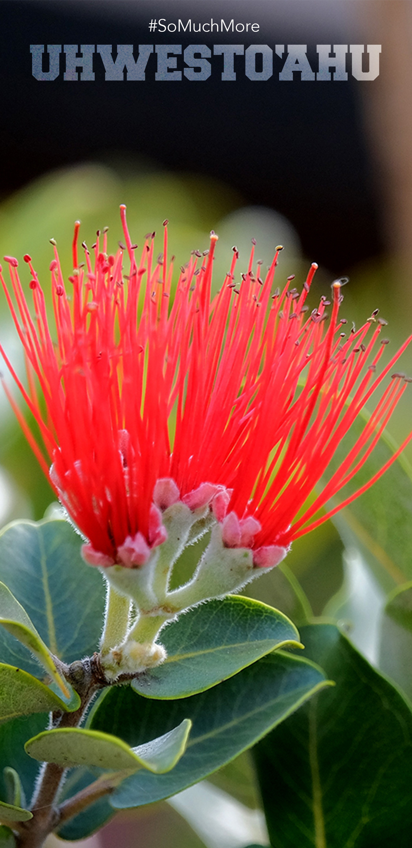 The Red Lehua Flower In The Campus Mala.