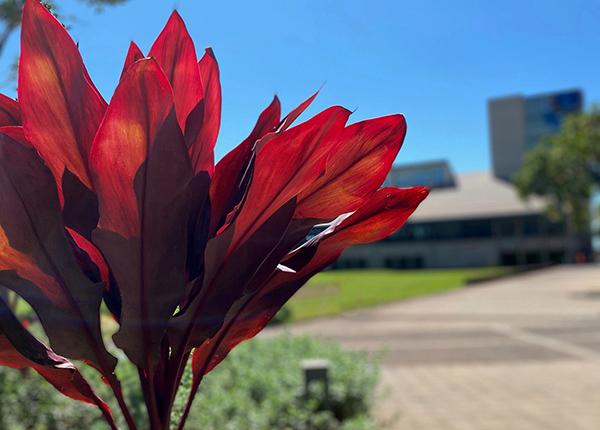 Vivid Hawaiian Ti Leaf Plant